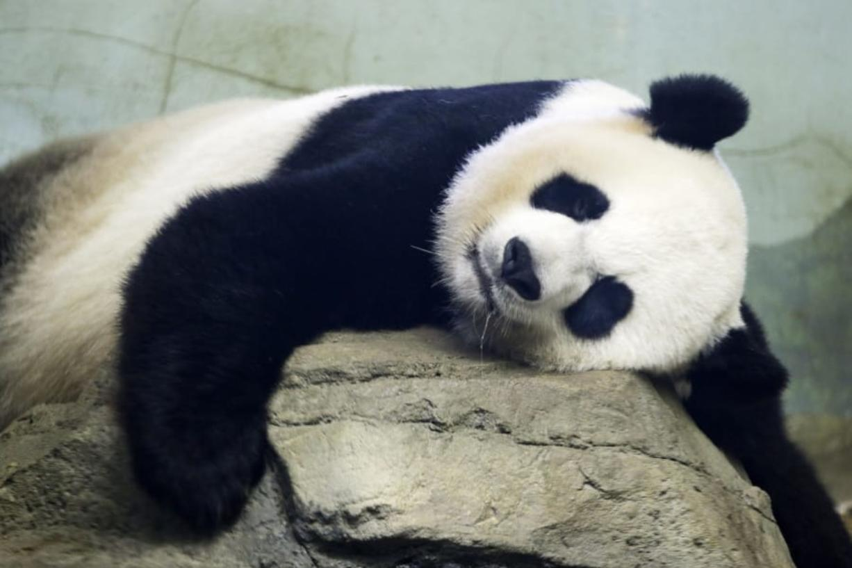 FILE - In this Aug. 23, 2015 file photo, The Smithsonian National Zoo's Giant Panda Mei Ziang,  sleeps in the indoor habitat at the zoo in Washington. Zookeepers at Washington's National Zoo are on baby watch after concluding that venerable giant panda matriarch Mei Ziang is pregnant and could give birth this week.