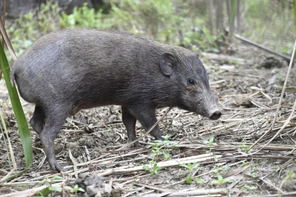 This undated photo provided by the Durrell Wildlife Conservation Trust in July 2020 shows an adult male pygmy hog in India. Pygmy hogs are among the few mammals -- and the only pig -- that build elaborate nests out of dried grass to live in families of four and five year around.