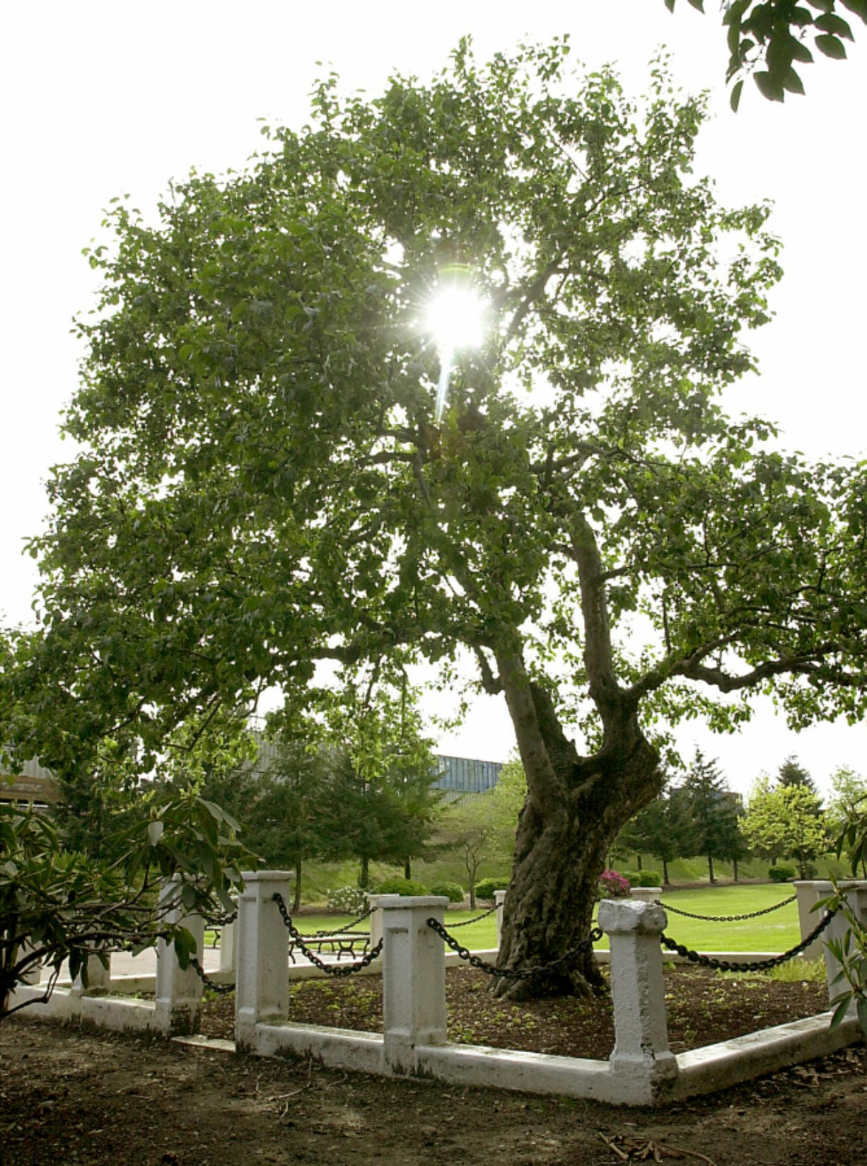 Sun filters through the branches of the Old Apple Tree in 2001. The Clark County History Museum is hosting an online memorial service of sorts for the tree, which died in June at 194 years old.