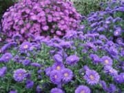 Add some fall color to your landscape with asters