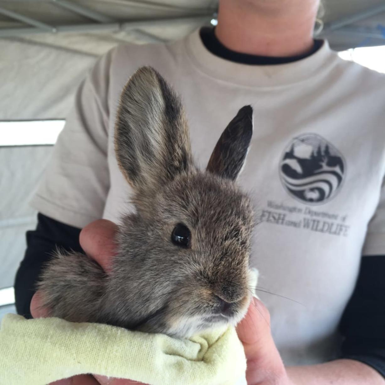 Washington Department of Fish and Wildlife technician Claire Satterwhite holds a pygmy rabbit in October 2015. Recovery of the endangered pygmy rabbit has been set back after fires burned shrub-steppe habitat the animal needs to survive. (Ann Froschauer/U.S.