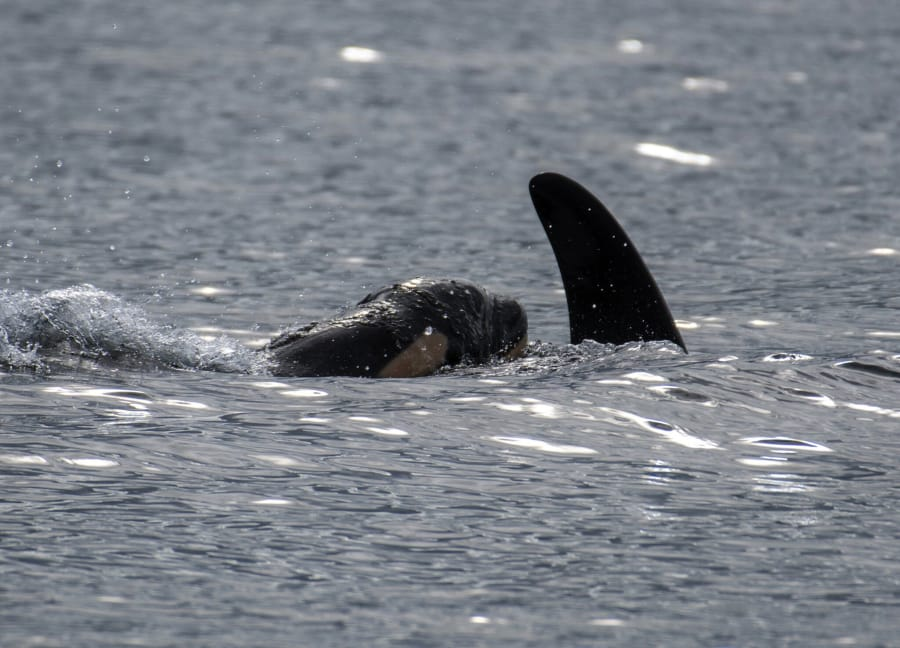 Southern resident orca J-41 surfaces with her new calf, born Thursday.