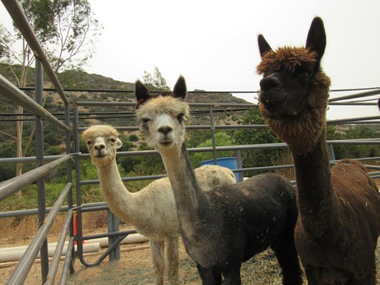 Post-wildfire, animals such as these alpacas sheltering at a boarding site in Spring Valley, Calif., during the Valley fire, need extra care and attention.