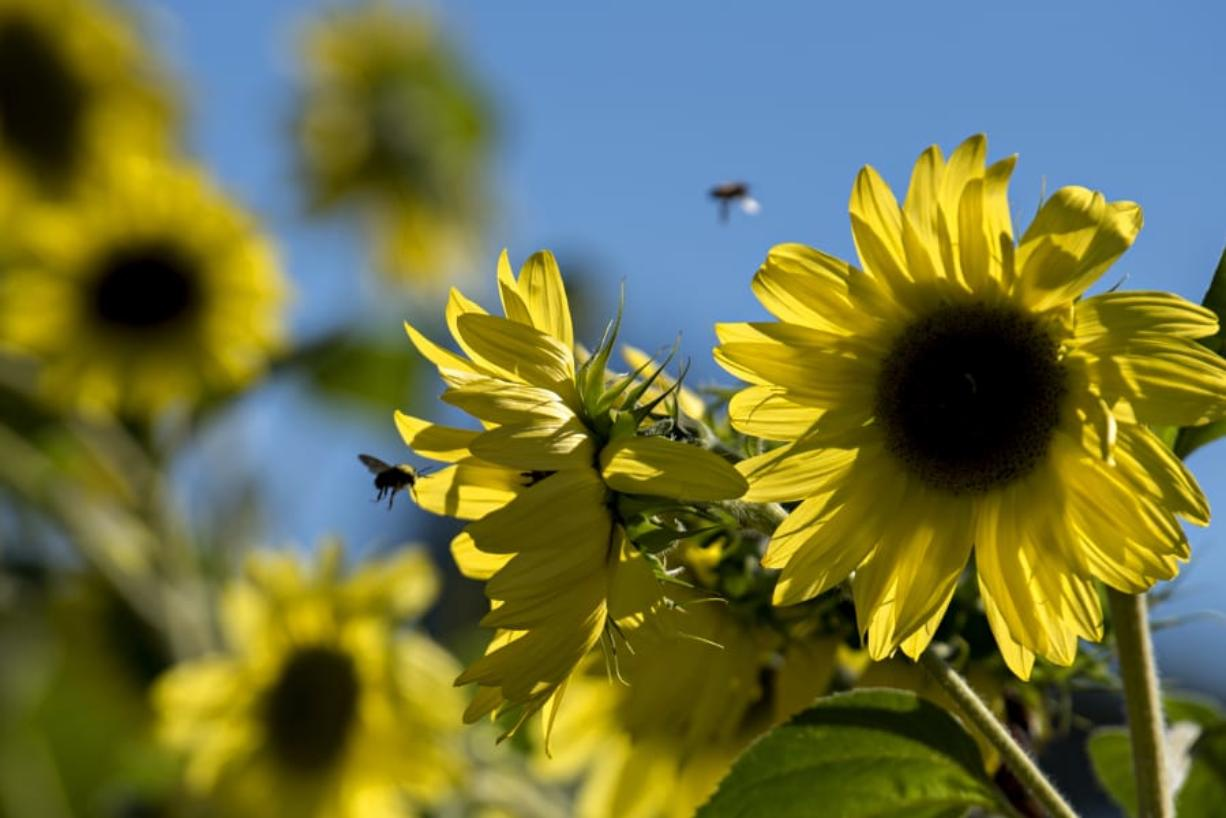 Bees buzz around late summer sunflowers at Happiness Family Farm at Sauvie Island an August afternoon.