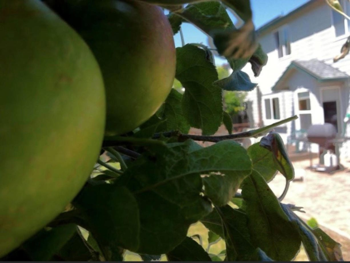 I missed picking apples this summer from my backyard trees and making tasty pies.