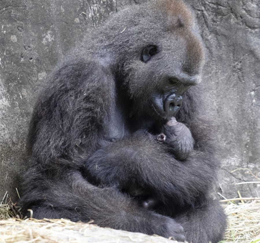 In this photo provided by the Audubon Nature Institute, Tumani, a critically endangered western lowland gorilla holds her newborn at an enclosure at the Audubon Zoo, following its birth on Friday, Sept. 4, 2020, in New Orleans. It's Audubon's first gorilla birth in nearly 25 years and the first offspring for the 13-year-old gorilla.