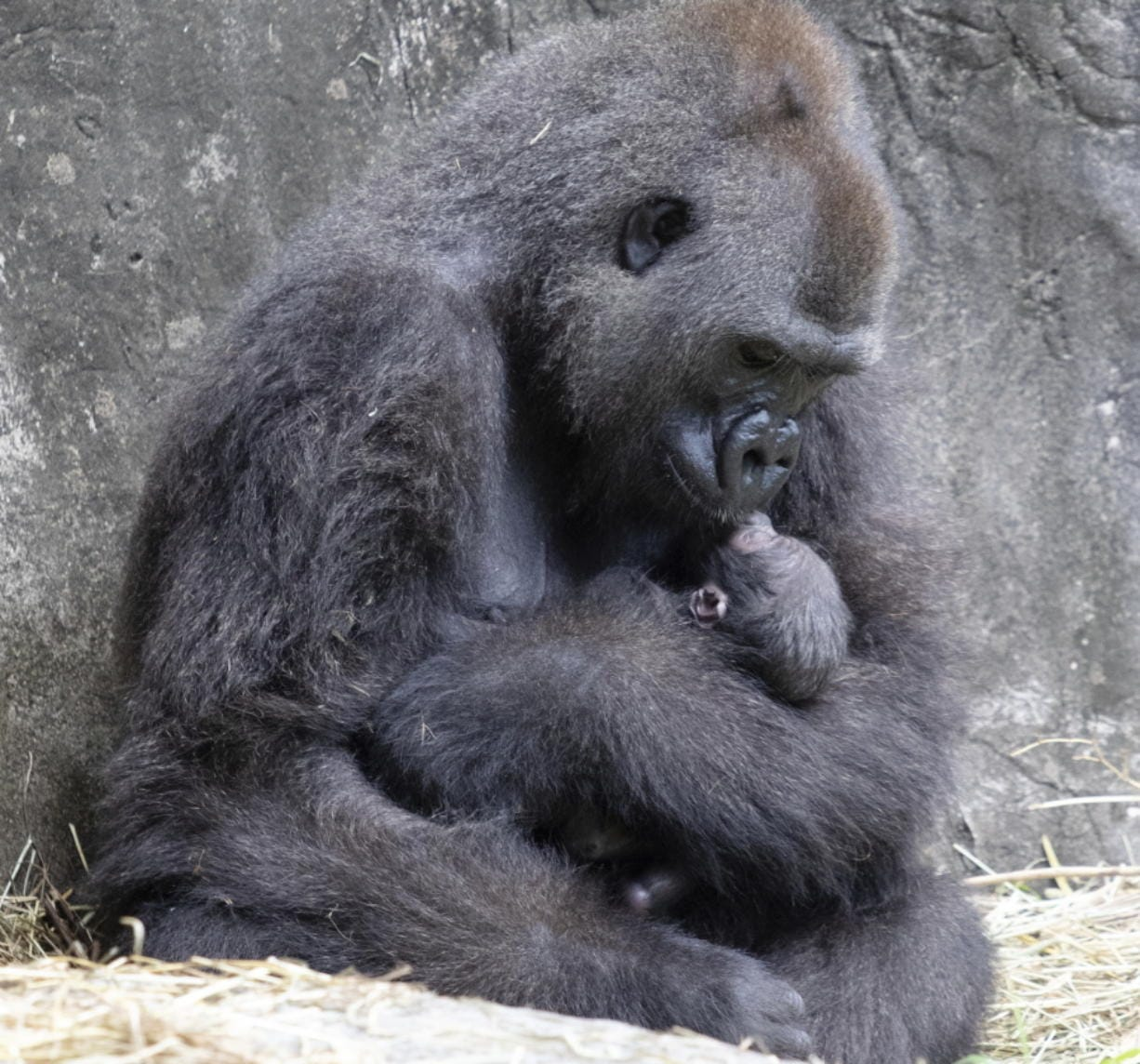 FILE - In this photo provided by the Audubon Nature Institute, Tumani, a critically endangered western lowland gorilla holds her newborn at an enclosure at the Audubon Zoo, following its birth on Friday, Sept. 4, 2020, in New Orleans. Less than a week after celebrating the birth of the infant gorilla, the zoo in New Orleans is mourning its death. Audubon Zoo officials say the baby born Friday died on Wednesday, Sept. 9.