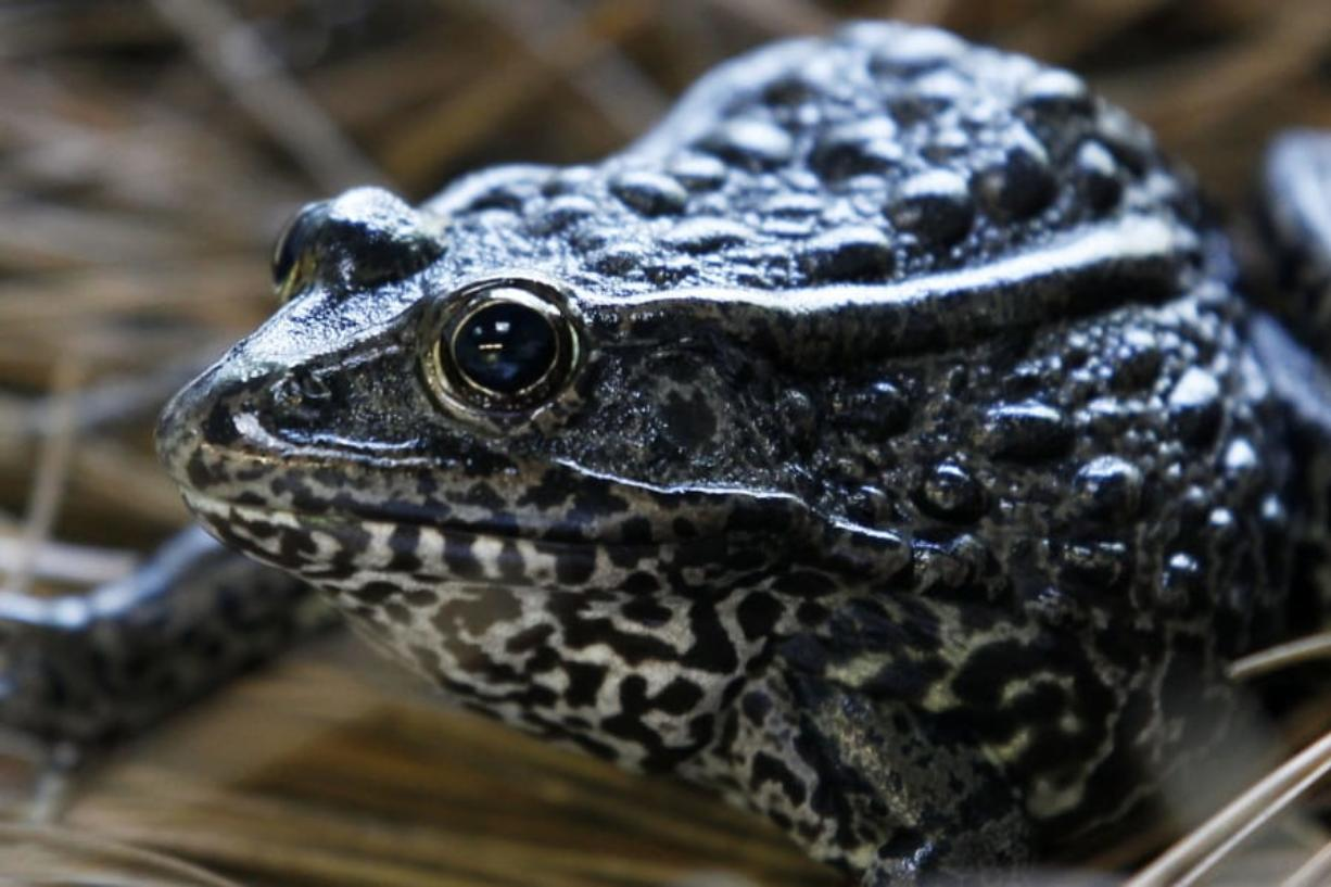 """FILE - In this Sept. 27, 2011, file photo, is a gopher frog at the Audubon Zoo in New Orleans. Federal wildlife officials are proposing limits on what can be declared as """"habitat"""""""" for imperiled plants and animals. The proposal to be announced Friday, July 31, 2020, and obtained in advance by The Associated Press would for the first time define """"habitat"""" for purposes of enforcing the Endangered Species Act, the landmark law that has undergirded species protections efforts in the U.S. since 1973."""