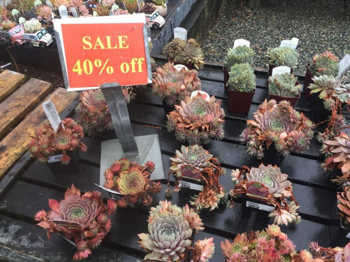 This assortment of succulents, photographed Aug. 21, 2019, were marked down 40 percent at Bayview Farm & Garden, a grower-retailer operation located near Langley. Late summer and early fall are great times of the year to shop at garden centers because they typically mark down their off-season inventories rather than cart them indoors for overwintering.