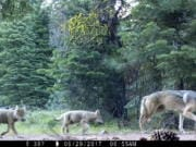 FILE - This June 29, 2017, file remote camera image provided by the U.S. Forest Service shows a female gray wolf and two of the three pups born in 2017 in the wilds of Lassen National Forest in Northern California. The Trump administration plans to lift endangered species protections for gray wolves across most of the nation by the end of 2020, the director of the U.S. Fish and Wildlife Service said Monday, Aug. 31, 2020. (U.S.