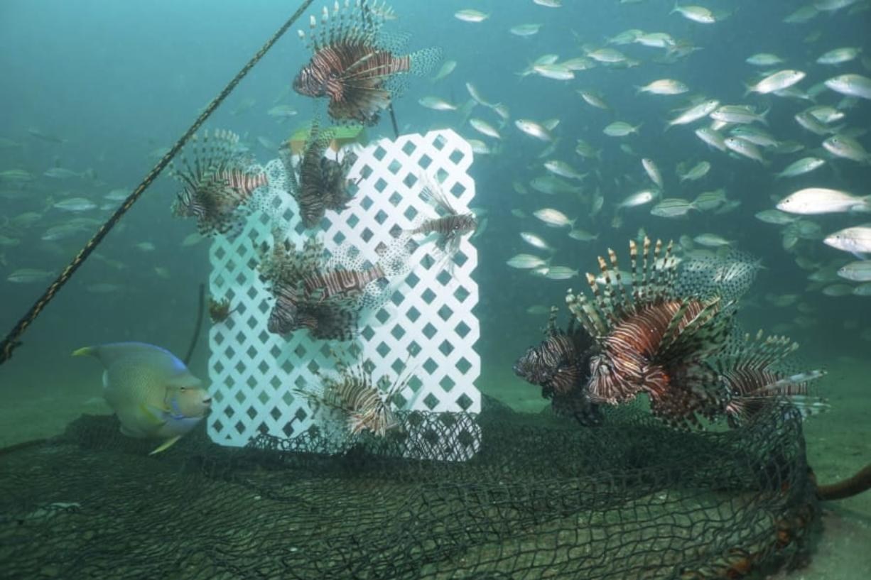 Lionfish, lured by a sheet of plastic lattice, swim near a trap offshore near Destin, Fla., on July 6, 2018. Scientists are looking at traps as a better way to kill the beautiful but brutally destructive invaders with huge appetites than shooting them one by one with spearguns. Traps could also be used at depths spearfishers cannot reach.