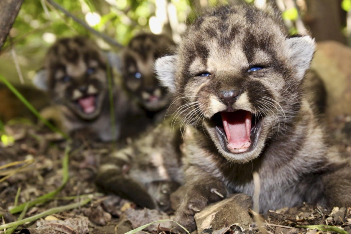 This May 2020, photo provided by the National Park Service shows mountain lion kitten P-54's and a den of kittens found in the Santa Monica Mountains. A boom in mountain lion births has occurred this summer in the Santa Monica Mountains and Simi Hills west of Los Angeles. Thirteen kittens were born to five mountain lion mothers between May and August, according to the Santa Monica Mountains National Recreation Area.