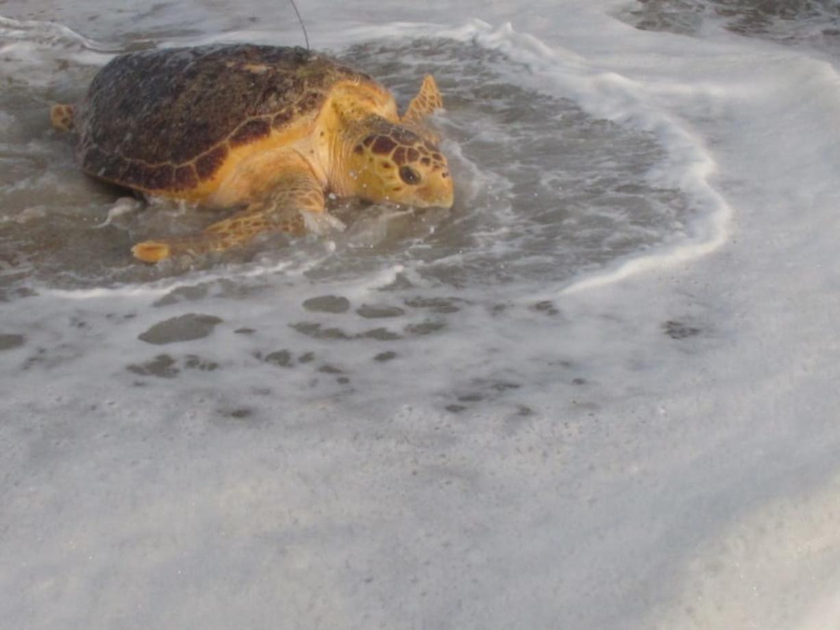 Tabitha, a 168-pound loggerhead turtle, crawls into the ocean in Point Pleasant Beach, N.J. Tuesday, Sept. 15, 2020, after being released by Sea Turtle Recovery, a volunteer group that rescues sick or injured turtles, nurses them back to health and returns them to the ocean. Tabitha was stranded in the surf in Cape May, on June 27, 2019, where she was near death weakened by pneumonia, severe anemia, and an intestinal blockage. The antenna on her back is a tracking device that should last for about 30 days.