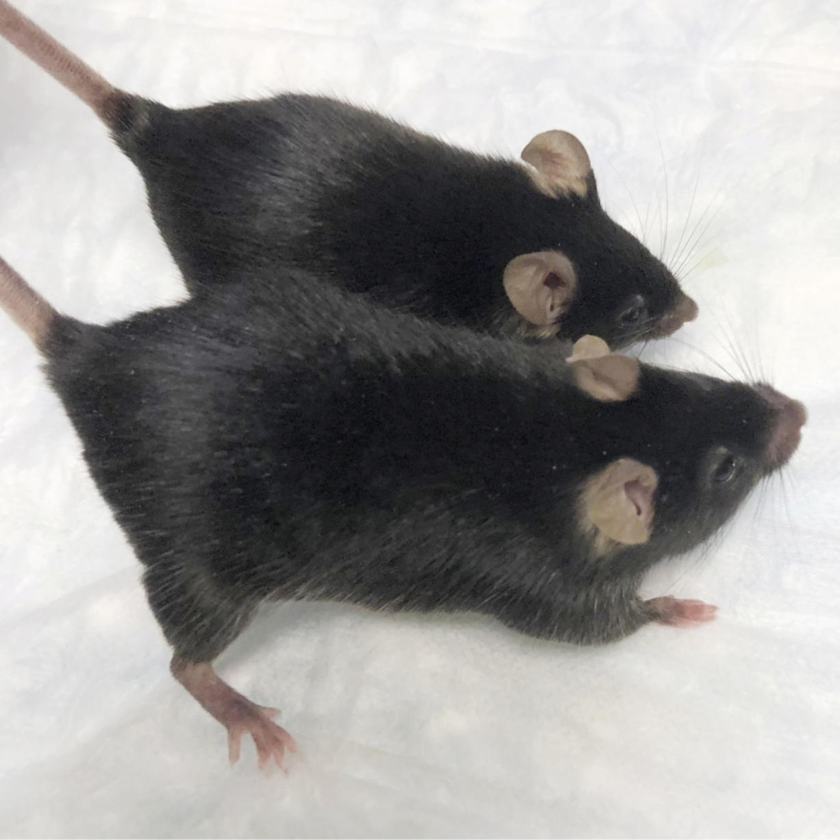 """A normal mouse and a """"twice-muscled"""" mouse developed at The Jackson Laboratory in Bar Harbor, Maine. (Dr."""