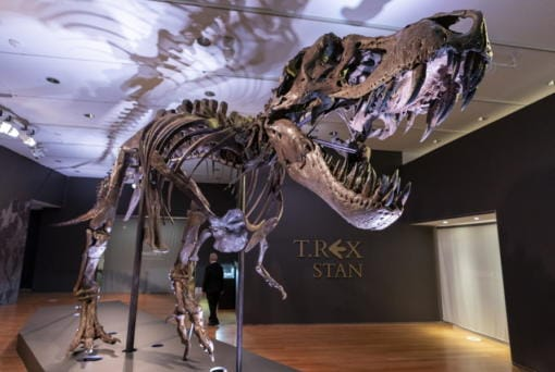 Stan, one of the largest and most complete Tyrannosaurus rex fossil discovered, is on display Sept. 15 at Christie's in New York.