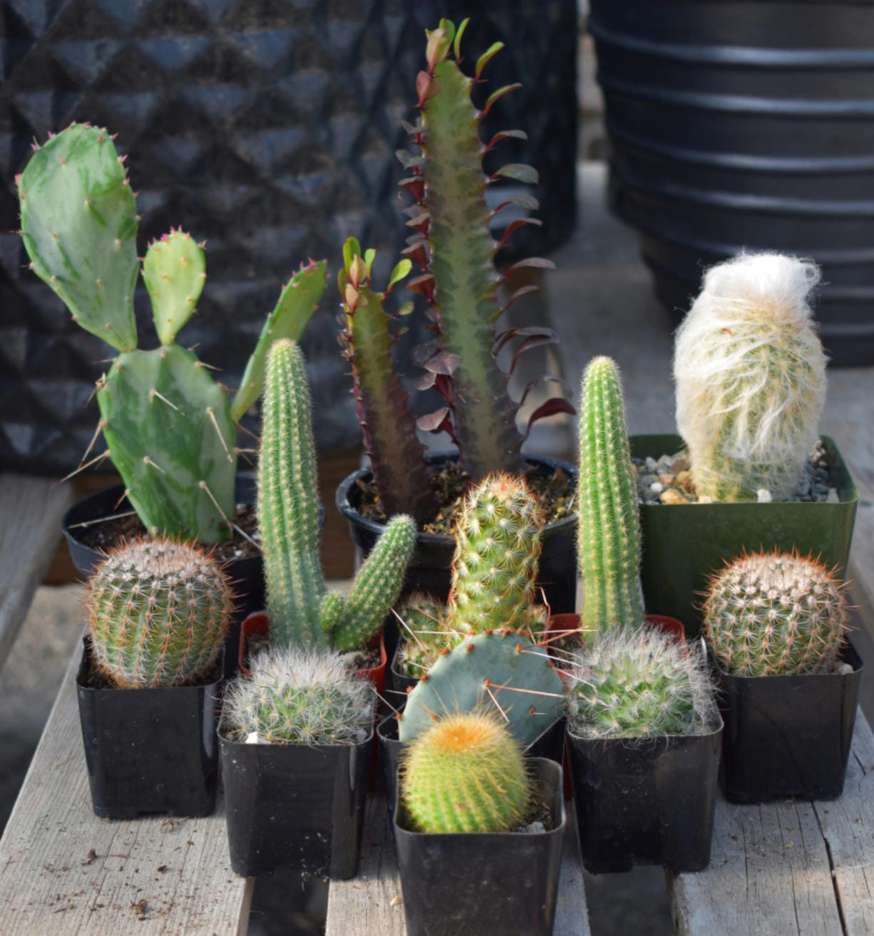 Indoor plant expert Karlene Kitchel of Tsugawa Nursery says you can induce your cactuses to bloom if you place them on a south-facing windowsill and water them every six to eight weeks.
