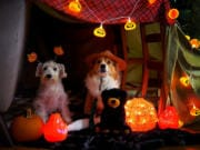 """For maximum fun, get into the act at home with costumes and a haunted tent as the Washington State Parks Foundation live-streams a Friday night Halloween """"camp-in"""" event."""