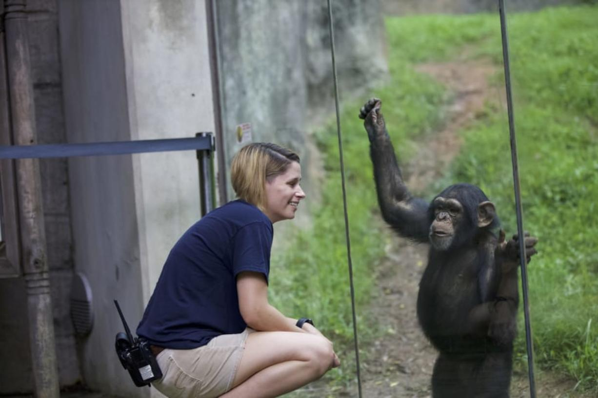 Zookeeper Kristy Russell looks on at Gus the chimpanzee.