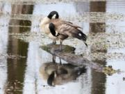 A pair of geese preen their feathers at the Steigerwald Lake National Wildlife Refuge at the western end of the Columbia River Gorge.