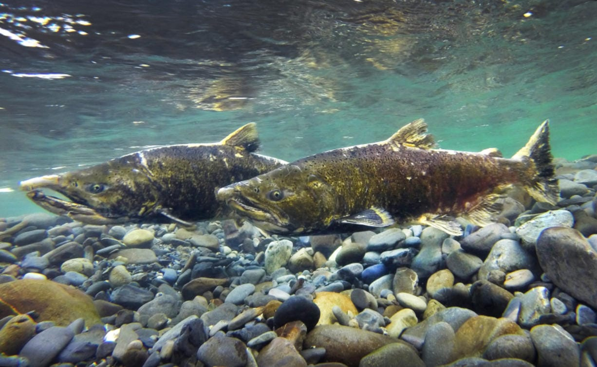 Tuesday, Sept. 22, 2020   Two Chinook on the Elwha River protecting their redd during the spawning season.