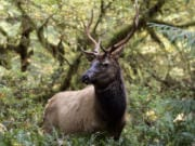 When elk hunting season in Western Washington opens on Nov. 7, hunters will find similar conditions to what they were last year.