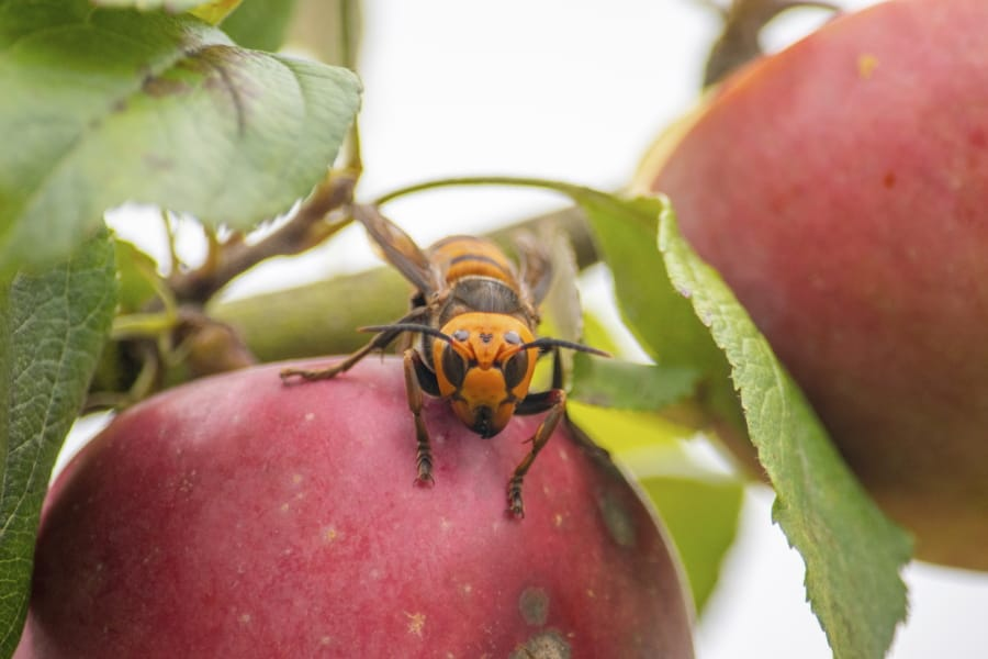 In this Oct. 7, 2020, photo provided by the Washington State Department of Agriculture, a live Asian giant hornet with a tracking device affixed to it sits on an apple in a tree where it was placed, near Blaine, Wash. Washington state officials say they were again unsuccessful at live-tracking an Asian giant hornet while trying to find and destroy a nest of the so-called murder hornets. The Washington State Department of Agriculture said Monday, Oct. 12, 2020, that an entomologist used dental floss to tie a tracking device on a female hornet, only to lose signs of her when she went into the forest.