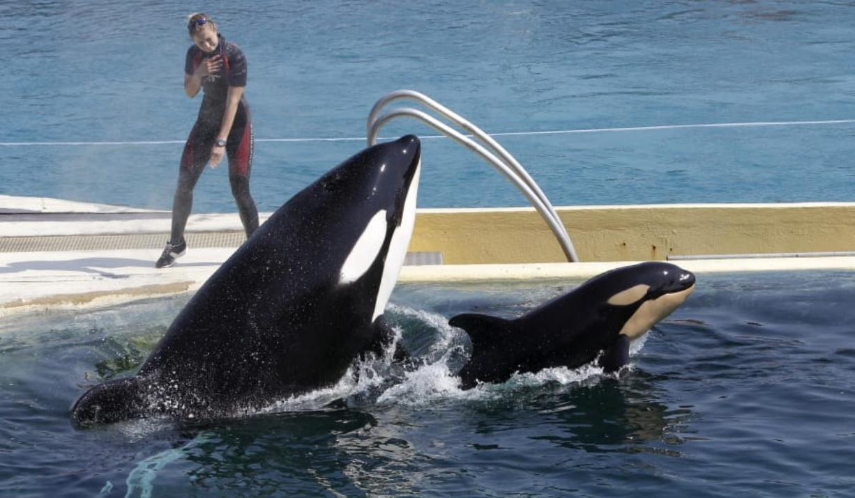 "FILE - In this April 18, 2011 file photo, killer whale ""Wikie"", jumps with its baby, a female born one month ago at the Marineland aquatic park in Antibes, southeastern France."
