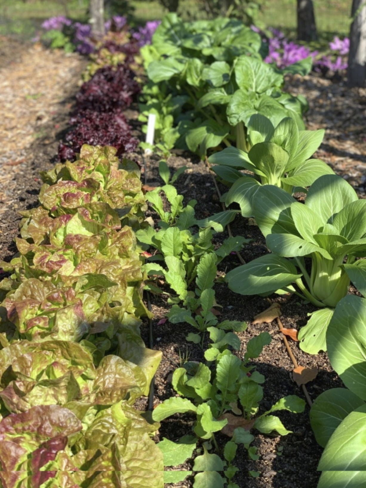 Frost is no problem for cold-hardy vegetables such as lettuce and Chinese cabbage, which thrive in cold weather.