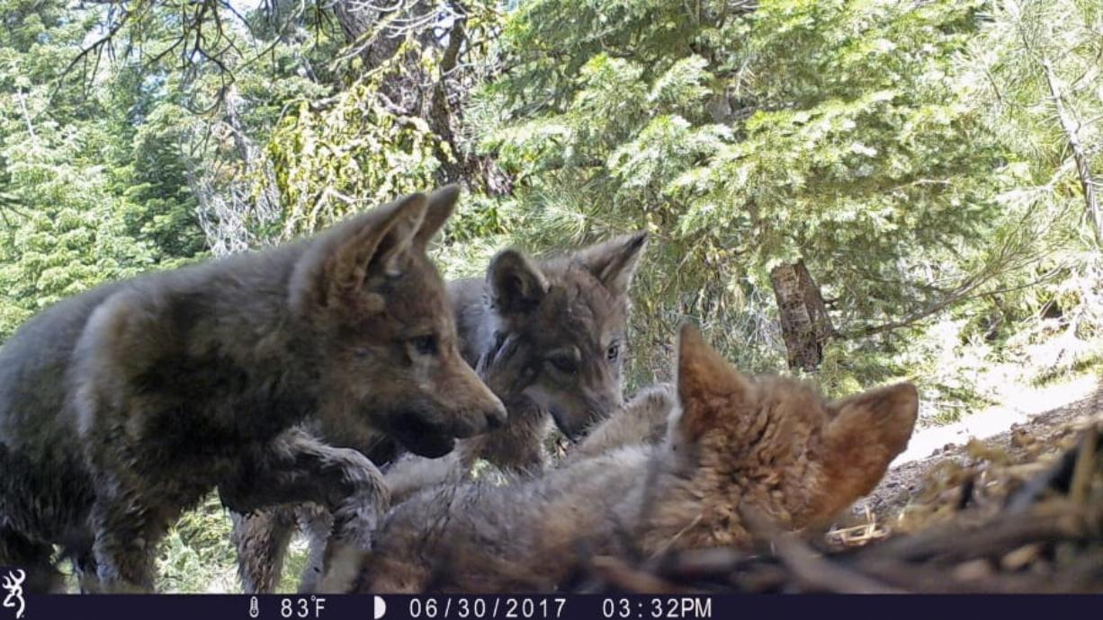 FILE - This June 30, 2017 remote camera image released by the U.S. Forest Service shows a female gray wolf and her mate with a pup born in 2017 in the wilds of Lassen National Forest in Northern California. Trump administration officials on Thursday, Oct. 29, 2020, stripped Endangered Species Act protections for gray wolves in most of the U.S., ending longstanding federal safeguards and putting states in charge of overseeing the predators. (U.S.