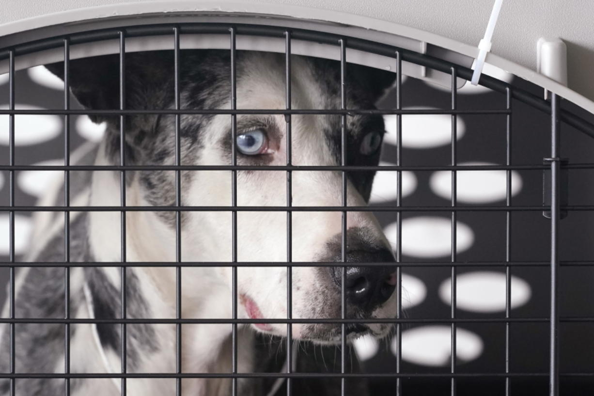 """A dog peers out from a kennel after the landing of a """"Paws Across the Pacific"""" pet rescue flight Thursday, Oct. 29, 2020, in Seattle. Volunteer organizations flew more than 600 dogs and cats from shelters across Hawaii to the U.S. mainland, calling it the largest pet rescue ever. The animals are being taken from overcrowded facilities in the islands to shelters in Washington state, Oregon, Idaho, and Montana."""