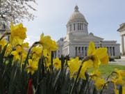 Daffodils bloom near the Legislative Building on April 6, 2020 at the Capitol in Olympia.