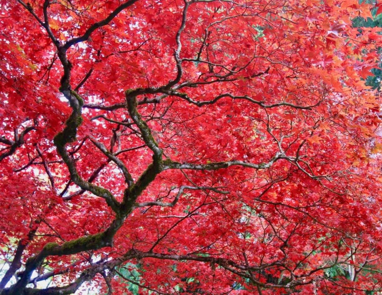 Red leaves of a vine maple in the late fall