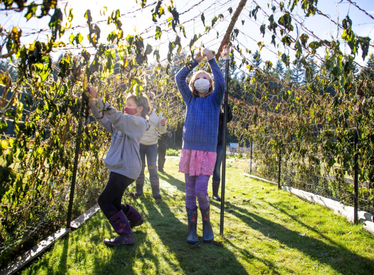 Fourth grader Dailee Franks, left, and sixth grader Annie Wheat, remove vines from the Fortex bean tunnel at the outdoor classroom at South Whidbey Elementary School on Nov. 2.
