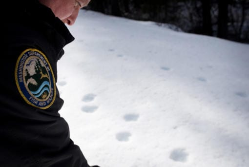 Ben Maletzke, the statewide wolf specialist for the Washington Department of Fish and Wildlife, examines wolf tracks on March 3 in the Wedge Pack's territory.
