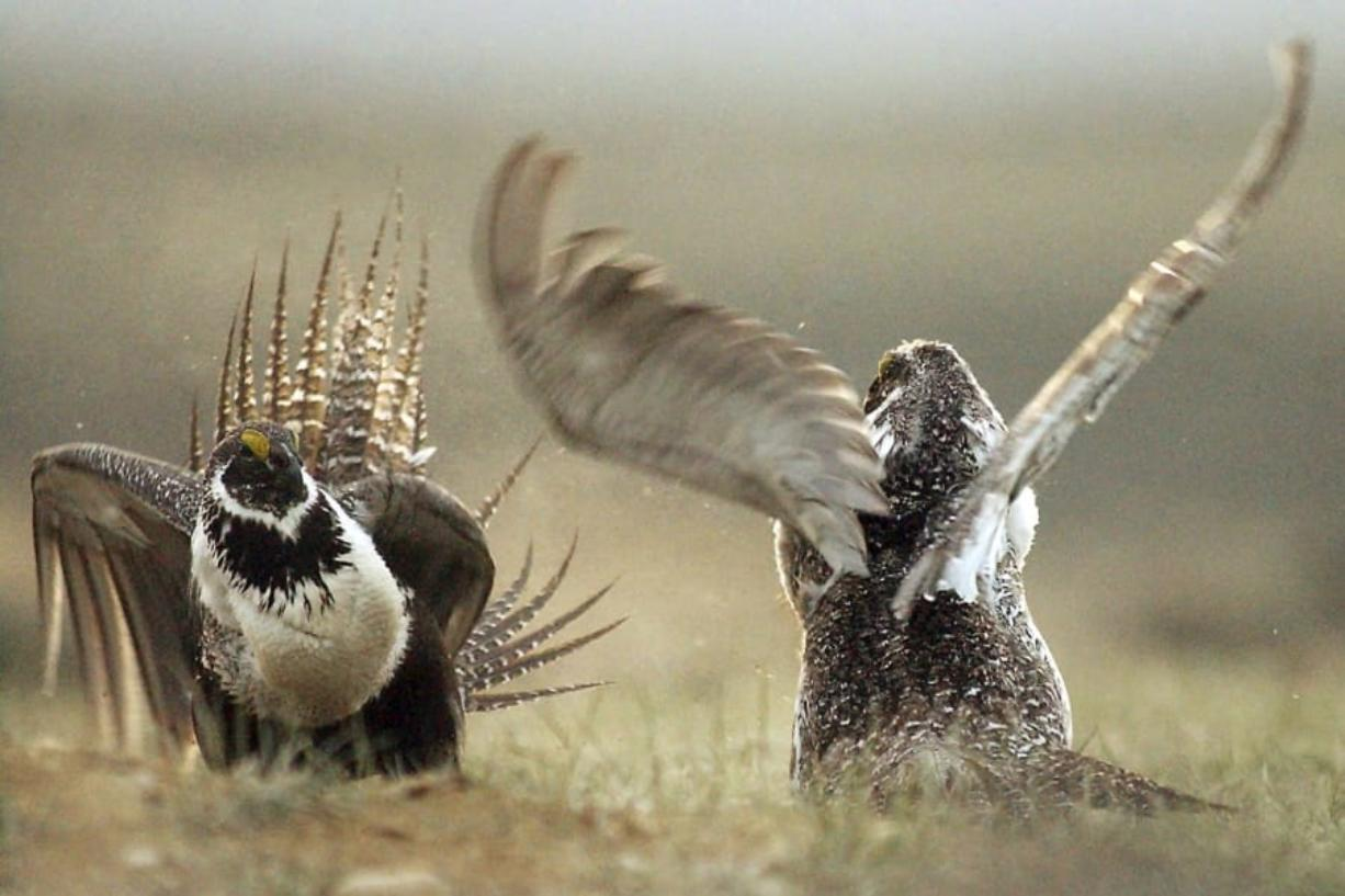 FILE - In this May 9, 2008, file photo, male sage grouses fight for the attention of females southwest of Rawlins, Wyo. The Trump administration announced plans that ease protections for sage grouse in the West, prompting an outcry by critics who say the move paves the way for widespread mining and drilling and ignores a federal court ruling. U.S. officials plan to publish the plans Friday, Nov. 20, 2020, in the Federal Register as part of a process that could allow the plans to take effect shortly before Trump leaves office.