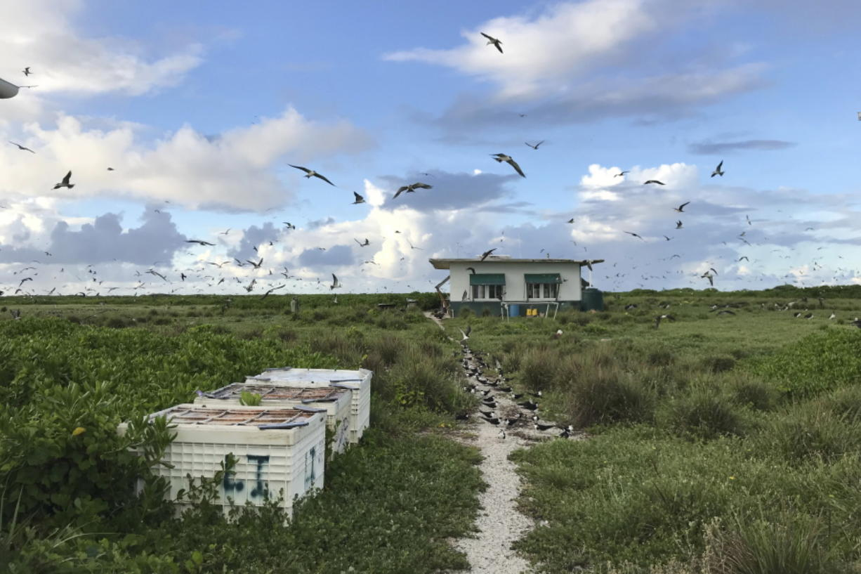 In this June 23, 2020, photo provided by Charlie Thomas, seabirds fly over a field camp on Kure Atoll in the Northwestern Hawaiian Islands. Cut off from the rest of the planet since February, four environmental field workers are back, re-emerging into a society changed by the coronavirus outbreak.
