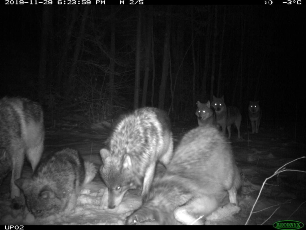 In this November 2019 photo provided by the Voyageurs Wolf Project, the Shoepack Lake Pack of wolves stops in front of a remote camera set on a trail in Voyageurs National Park, Minn. Scientists studying gray wolves in the park have traced how wolves preying on beavers affect the ecosystem by impeding the ability of beavers to build and maintain new dams that create wetlands.