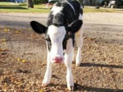 "WASHOUGAL: First-grade students at Gause Elementary School ""adopted"" a Holstein calf named Pearl."