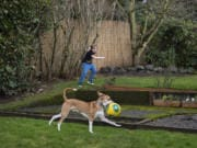 Wallace Griffin of Vancouver, 6, top, enjoys playtime with Ronin, 11 months, his husky/miniature pinscher puppy, in the backyard of their house. The Griffin family got Ronin in April because they knew they would be home more, and so Wallace would have a buddy.