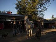 Denice Larson-Morrison of Windhaven Therapeutic Riding, from left, joins Jessica Dunford and her son, Gabriel Larson, as they work with Sara, a black-colored horse, and Rawhide, a cream-colored horse, in La Center on the morning of Dec. 24.
