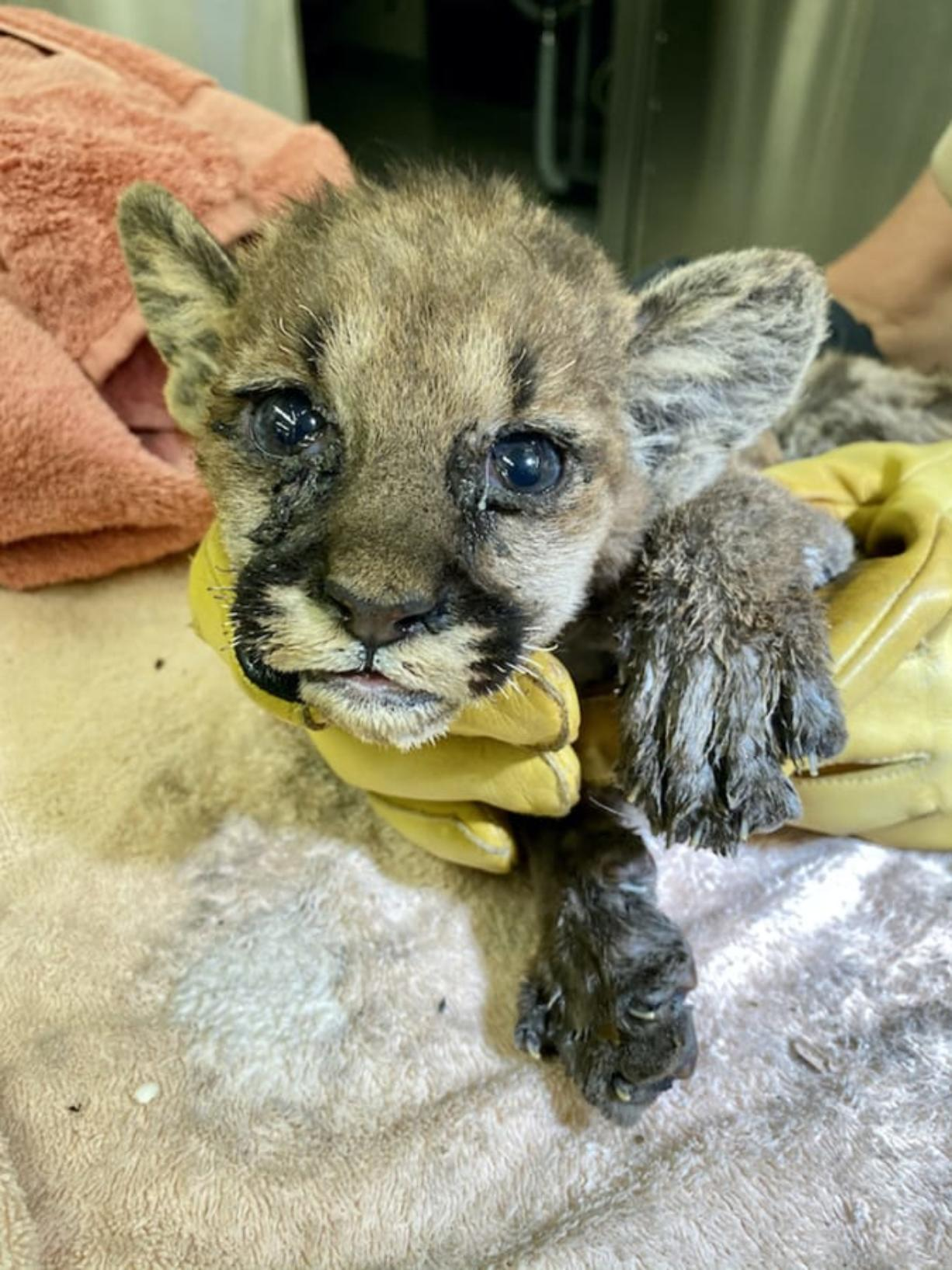 After 47 days healing at the Oakland Zoo, Capt. Cal, a cougar cub, will move to the Columbus Zoo and Aquarium in Ohio, officials said.