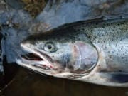 Local anglers are gearing up for winter steelhead right now, and hoping for better returns than then the last few years. Indicators are mixed this year, but there are signs that salmon and steelhead runs are doing better overall.