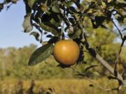 Hudson's Golden Gem is one of many flavorful apples that might not be commercially acceptable but is among the best-tasting varieties for backyard growing.