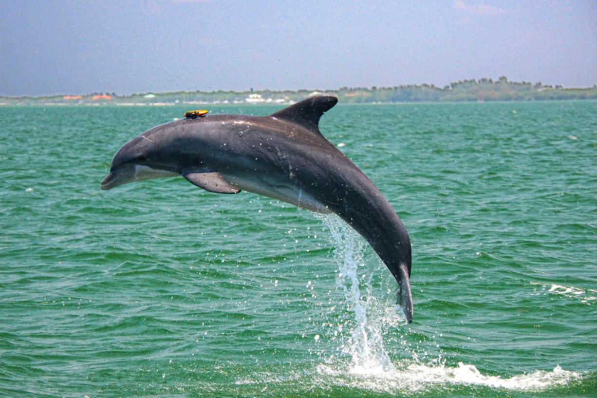 A resident Sarasota Bay dolphin leaping with suction-cup-mounted DTAG that records sounds and behavior for up to 24 hours. (Photo taken under NMFS Scientific Research Permit No.