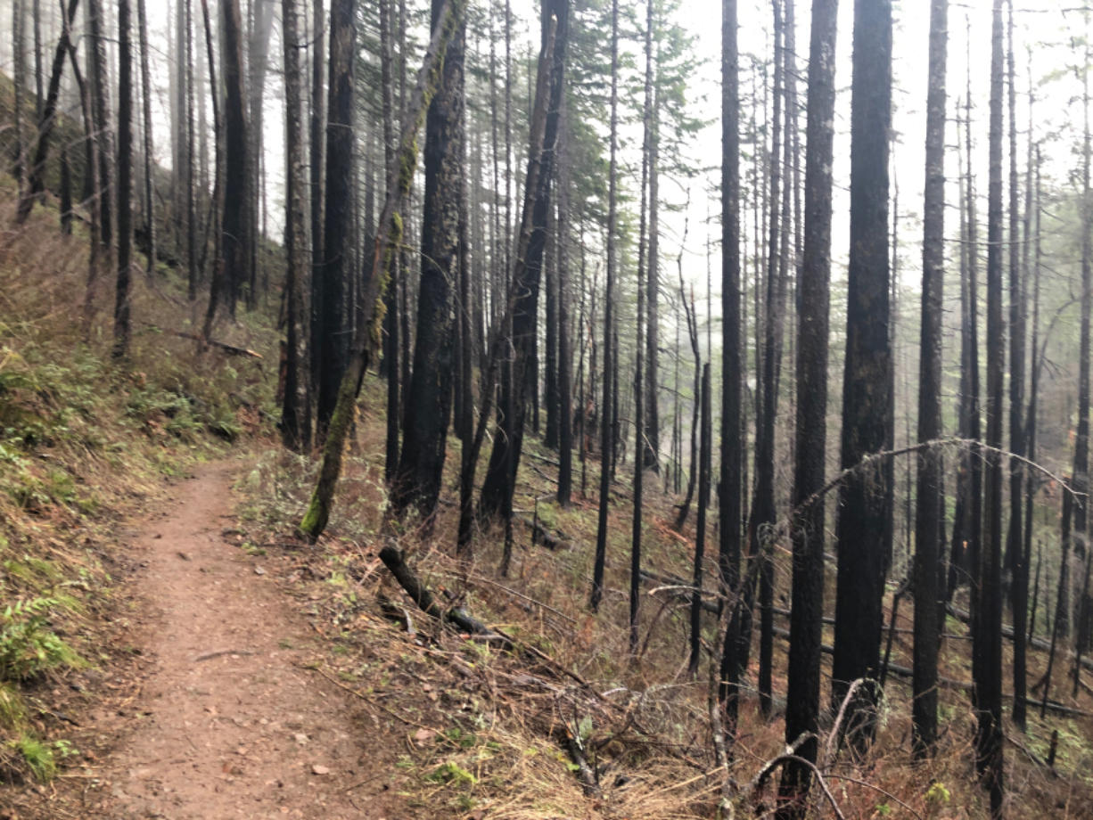 Charred trees surround the Eagle Creek Trail, remnants of a 2017 wildfire that devastated the Columbia River Gorge.