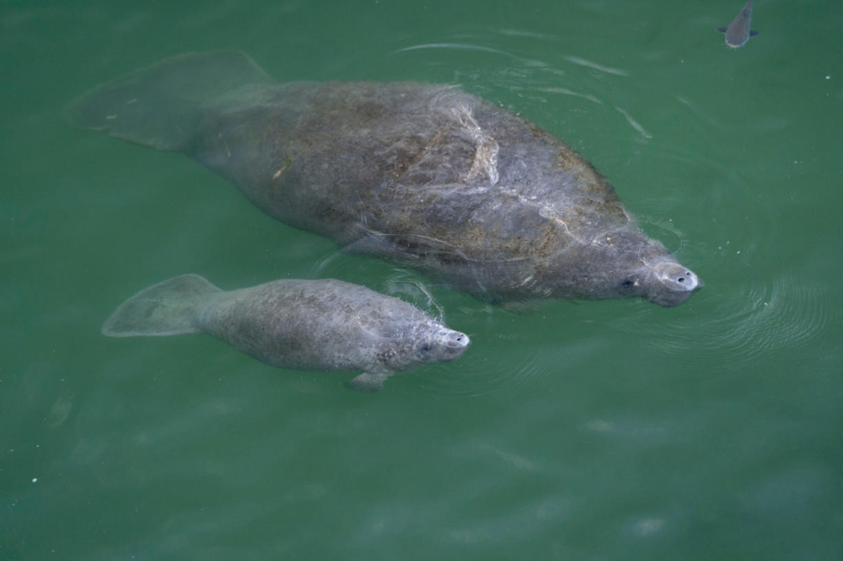A manatee mom and calf seen Thursday gathering at their favorite cold-weather spot: the warm-water outflows from Florida Power & Light's plant in Riviera Beach, Fla.