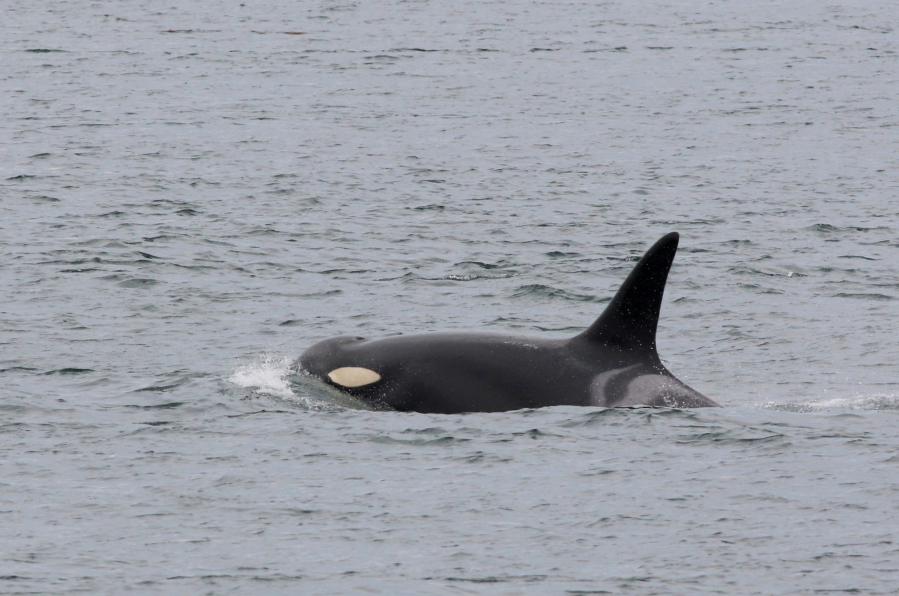 According to new research, female orcas are most thrown off from foraging when boats and vessels intrude closer than 400 yards.