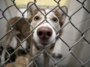 Holly, a husky puppy, stares out from her kennel at the West Columbia Gorge Humane Society in Washougal.