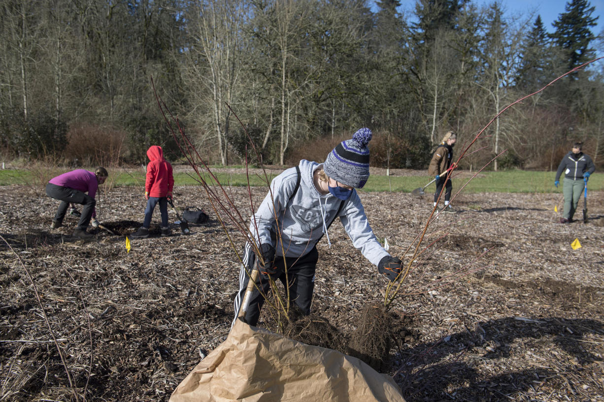 Leia McWilliams of Vancouver lends a hand to the native tree planting at Meadowbrook North on Monday morning.