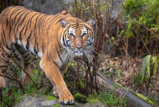 Woodland Park Zoo's first female Malayan tiger, Azul (Jeremy Dwyer-Lindgren/Woodland Park Zoo )